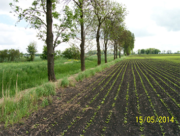 Sugar beets field along the source part of Gowienica